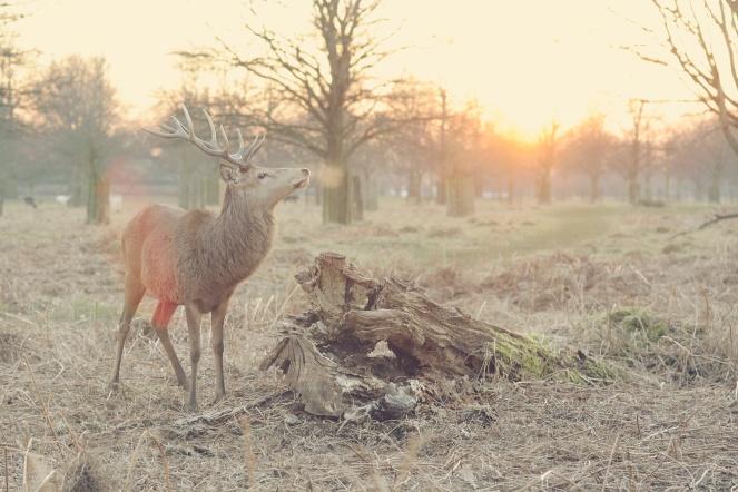 elk--crisp start of winter