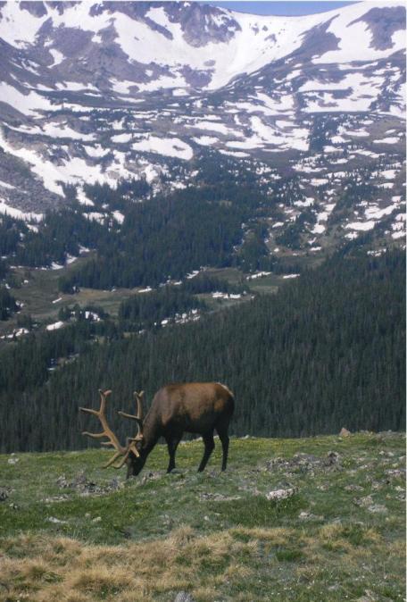 montana elk male