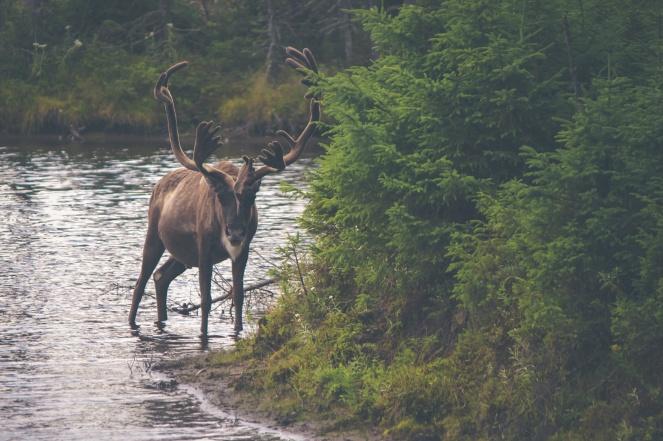 spring elk.jpg